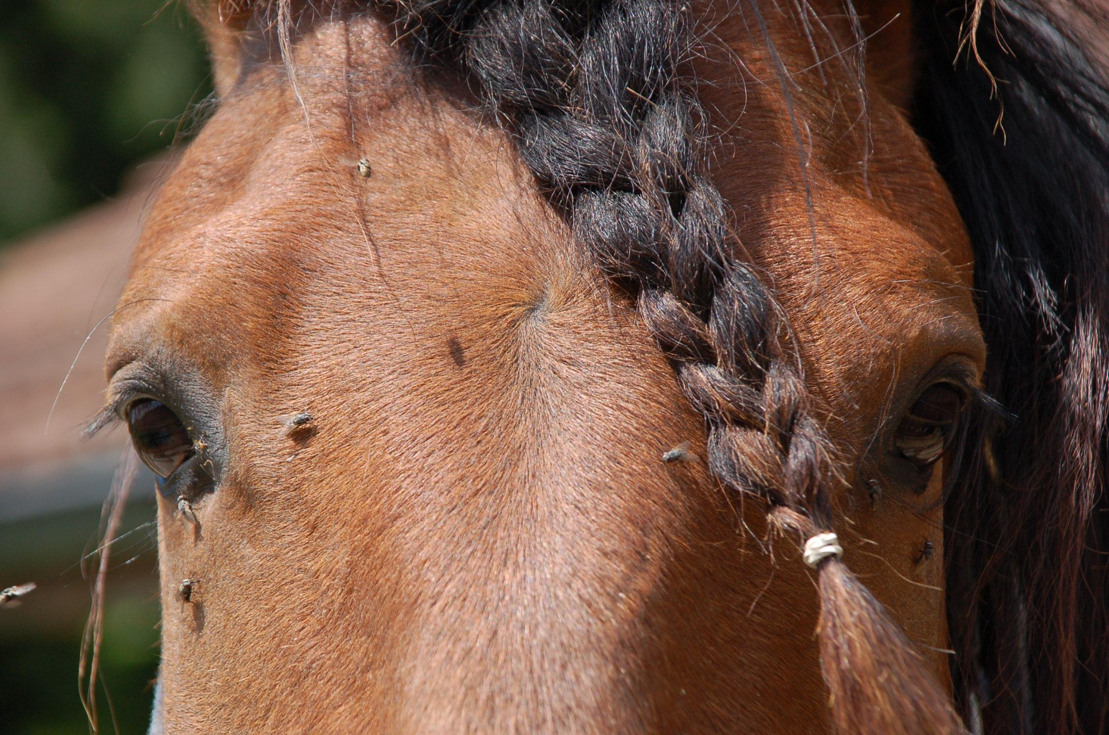 Insektenschutz - Hilfe gegen Fliegen beim Pferd
