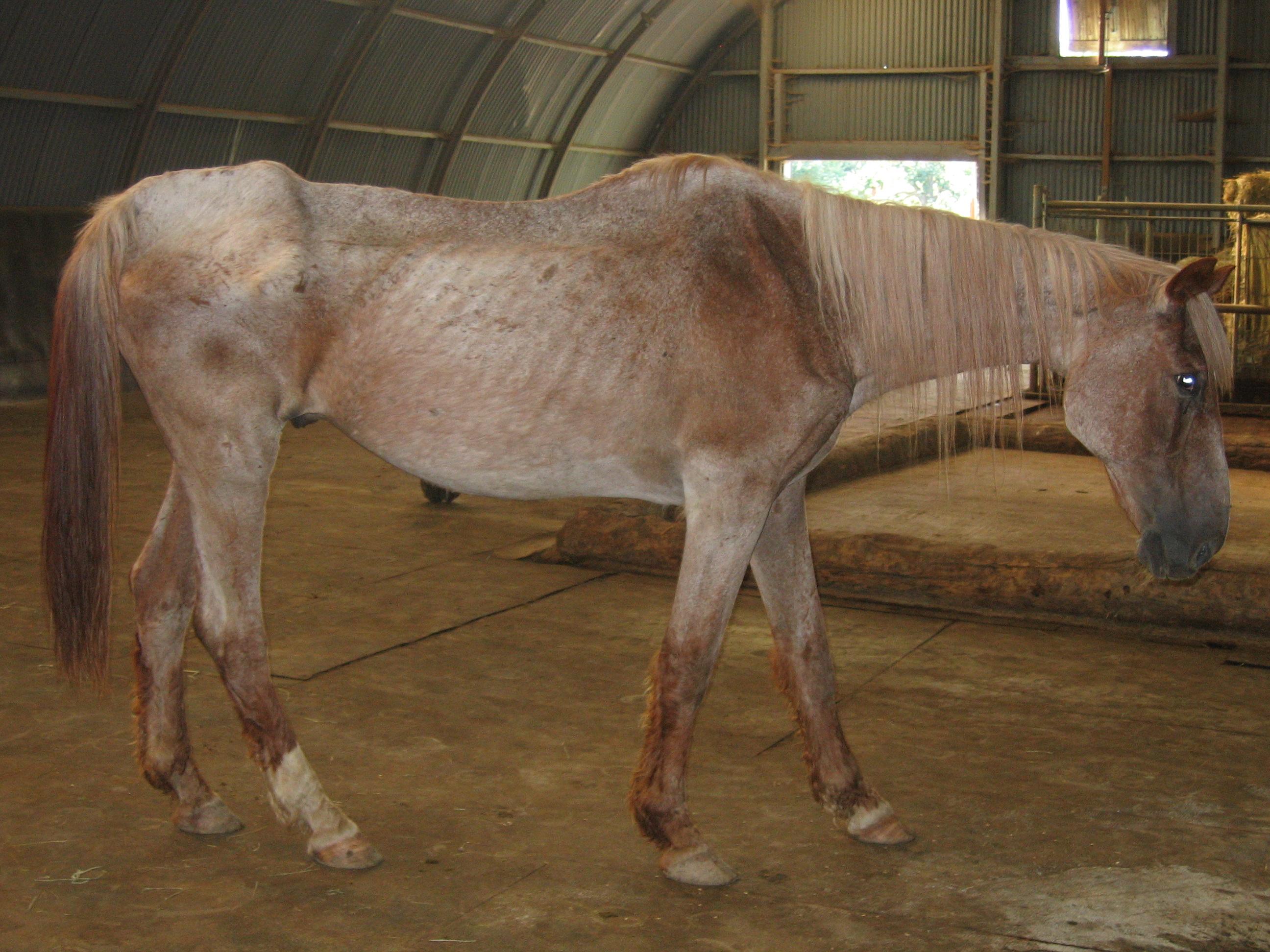 Folgen von Mangelernaehrung beim Pferd