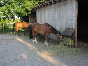 Gesunde Pferdefütterung - Pferde fressen Gras