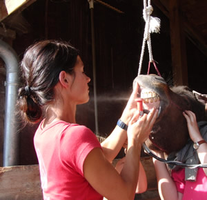 Schneidezahnbehandlung Pferd - Der Pferdezahn braucht die richtige Pflege.